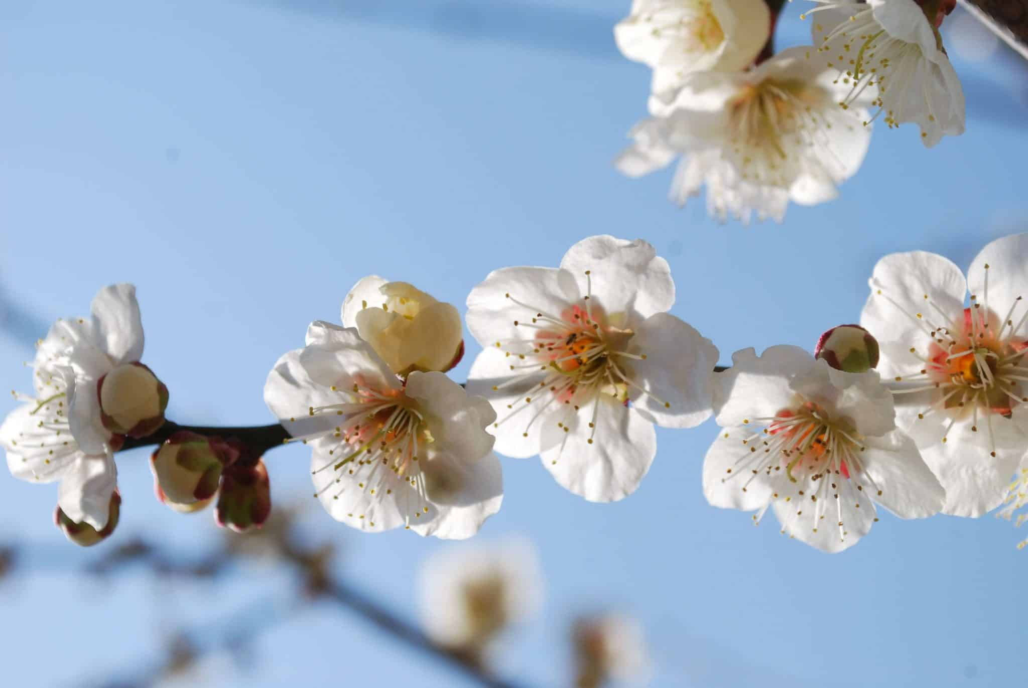 Large Sakura in front of blue sky