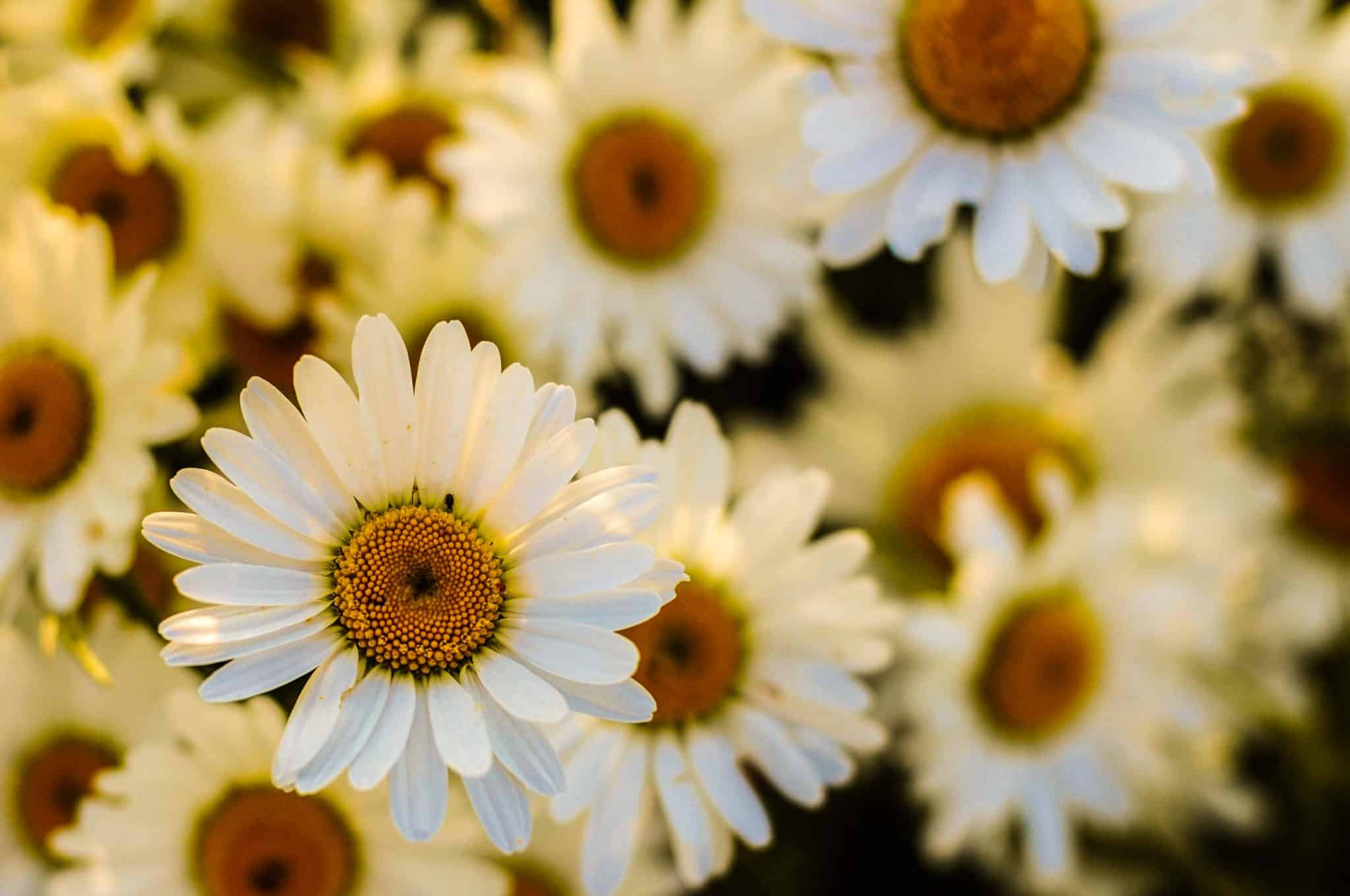 Daisies - background image for the header